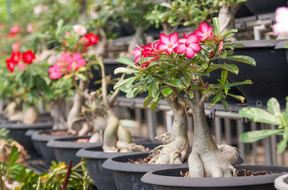 Adeniums for the Perfect Summer Bloom