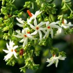 The Magic of Harsingar /Sheuli/Night Jasmine/Parijat Flower